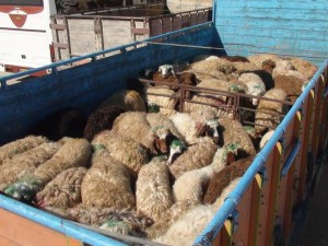 قاچاق گوسفند,قاچاق,نگهداری گوسفند,پرورش گوسفند,قاچاق در آبادان,