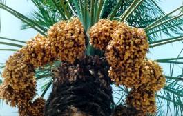 صادرات 90 هزار تن خرما از آبادان