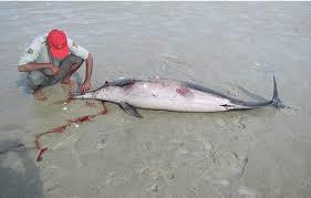 تورهای لنگری، قاتل جان دلفین و لاک پشت ها در آبادان