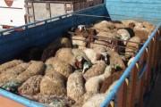 قاچاقچیان،گوسفندان زنده را به رودخانهء بهمنشیر ریختند.